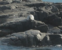 A seal basks on the rocks near Iona. © http://bit.ly/g1Cqi
