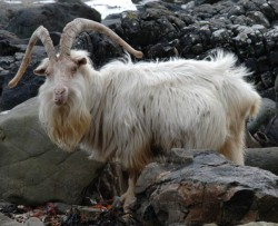 A wild goat on the shoreline at Carsaig on the south shores of Mull. © http://bit.ly/12Lnha