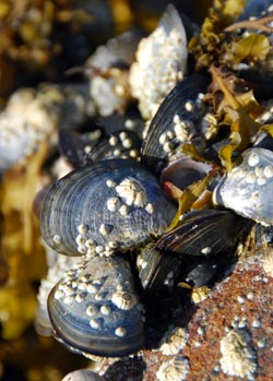 Mussels by JWU @ Flickr