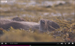 An Otter caught by the BBC's Autumnwatch cameramen visiting the Isle of Mull, relaxing on top of the seaweed after perhaps one too many crab. Time to relax and digest.
