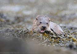 An otter clambering over the seaweed on the Mull coastline - copyright Richard Peters Photography